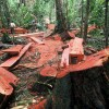 US Makes Commercial Move to Reduce Illegal Logging in Peru